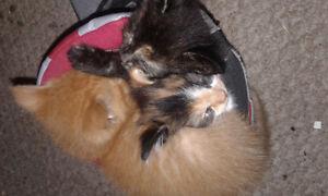 9 Week Old Kittens: Black / Orange/ Calico