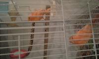 plusieurs males canariscouleurs rouge et orange