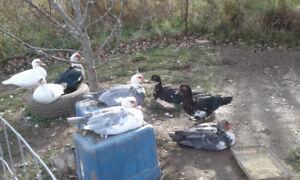 125 obo 9 Muscovy Ducks -Bridgetown-