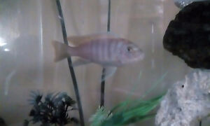 African cichlid's and guppies