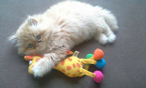 Doll face Persian Himalayan ready for adoption