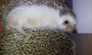 Sweet healthy young hedgehog for sale  female.