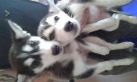 Pure Pedigree Siberian Husky text (719) 629-7097**