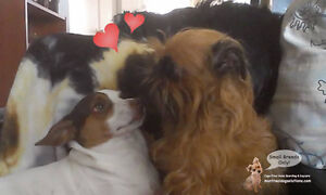 *HOLIDAYS FULL* PLAYDATES/SLEEPOVERS FOR NICE SMALL DOGS West Island Greater Montréal image 6