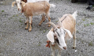 Goats for sale - Must go