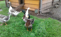 Silver Appleyard, Welsh Harlequin, or Rouen Ducks or Ducklings