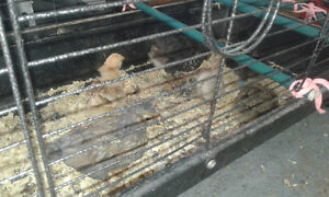 Chicks for sale
