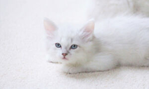 Lilac Ragdoll Male kitten is available for his new home
