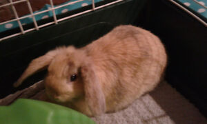 Rehoming 12 weeks old female lop Bunny