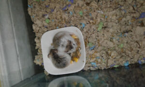Pied Robo hamsters now available!!! - Daves Hamstery