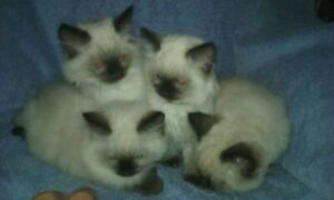 Seal Point Ragdoll Kittens