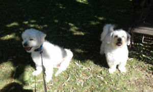 Dog sitting - Bolton, Caledon, Peel Region