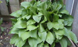 Lots of Hosta Plants for Sale