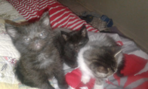 3 male kittens for sale