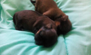 Only 2males left. Chocolate brown