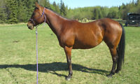 Reg Quarter Horse Mare 5 years old Green broke