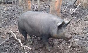Pigs- Sow and Boar Collinsvale Glenorchy Area Preview