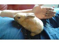 8 week old bunny