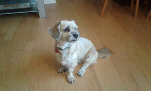 5 1/2 year old Shih Tzu/Poodle needs good home