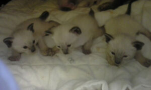 REGISTERED CLASSIC SIAMESE KITTENS - SEAL POINTS STILL AVAILABLE