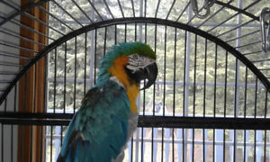 Macaw - seven year old male. Blue and gold