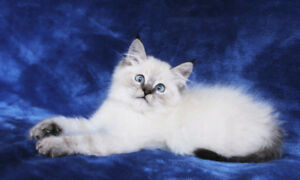 Adorable Colour Pointed Ragdoll Kittens for Rehoming
