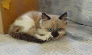 8 week old Calico & 3 blue eyed Ragdoll cross kittens for sale