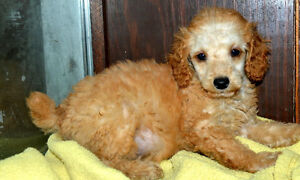 Gorgeous Red Mini Poodles! 1 Male 1 Female READY TO GO