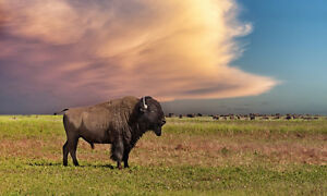 Paying top prices for your Bison Cows , Bulls and Heifers