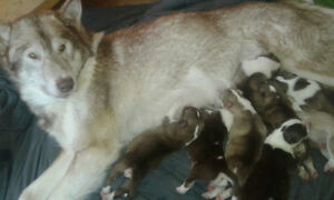 Purebred Canadian Eskimo (Inuit) Puppies for Sale