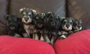 Purebred Miniature Schnauzers ready to go today !