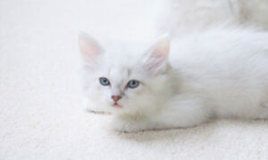 Lilac Ragdoll Male kitten is looking for his new home