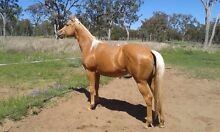 2 yr old palomino filly Toowoomba 4350 Toowoomba City Preview