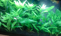 Aquarium/Fish Plants For Sale