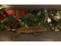 High end baby crested geckos