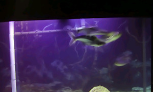 Iridedescent sharks