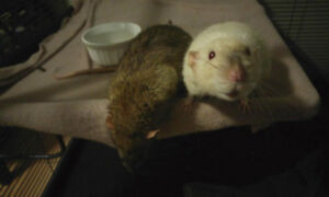 Two male rats for temporary rehoming, could sell.