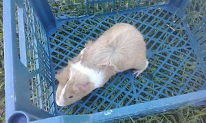 Male guinea pig Oakville Hawkesbury Area Preview