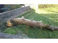 Tree stump good for fire wood etc free