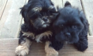**Shih Tzu x Toy Poodle Puppies**