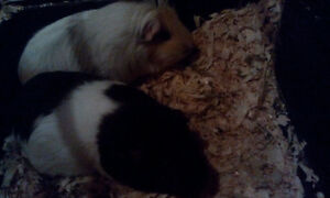 GPS (Guinea Pig Sanctuary) has a pair of sweet girls to adopt!