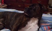 """10 MONTH MALE BOXER """"ROCKY"""""""