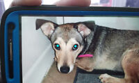 LOST DOG SMALL TERRIER MIX, TIMID AND SCARED!