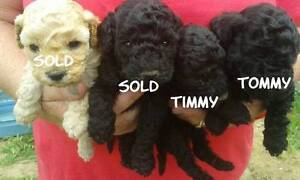 POODLES Miniature/Toy Sydney City Inner Sydney Preview