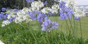 Wanted: Agapanthus Champion Lakes Armadale Area Preview