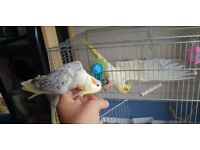 tamed cockatiels for sale + cage
