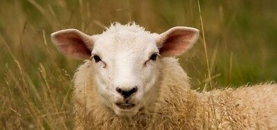 The Wooly Lamb
