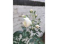 White rosebush in claypot - Ø 40 cm.