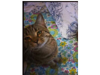 Missing lost male cat Norton area