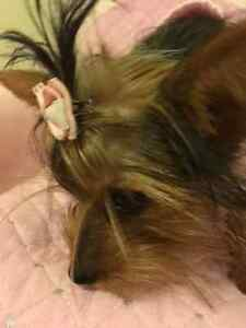TEACUP YORKIE BABYDOLL DANIELLA FOR SALE